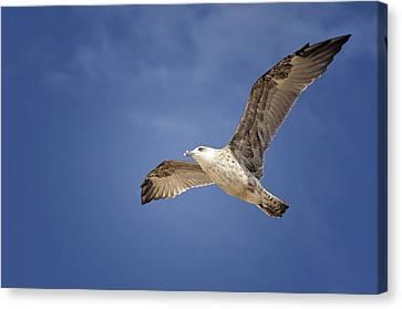Grey Seagull Canvas Print by Hernan Bua