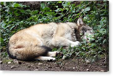 Grey Wolf - 0008 Canvas Print by S and S Photo