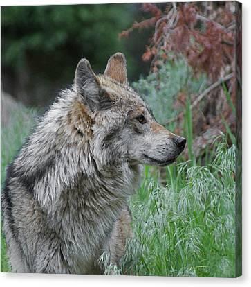 Grey Wolf Profile 2 Canvas Print by Ernie Echols