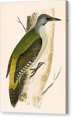 Grey Woodpecker Canvas Print by English School