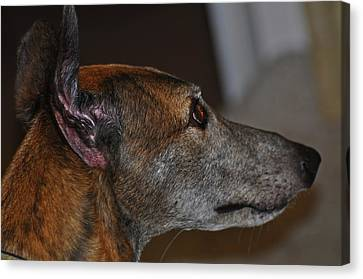 Greyhound Canvas Print by Peter  McIntosh