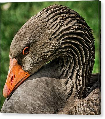 Greylag Goose Portrait  Canvas Print by Gary Whitton
