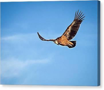 Canvas Print featuring the photograph Griffon Vulture by Meir Ezrachi