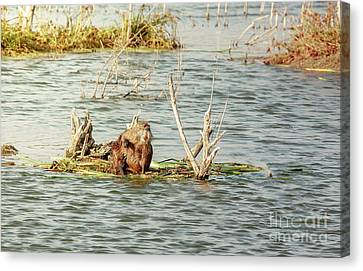Canvas Print featuring the photograph Grinning Nutria On Reeds by Robert Frederick