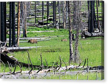 Grizzly Bear And Cub Cross An Area Of Regenerating Forest Fire Canvas Print by Louise Heusinkveld