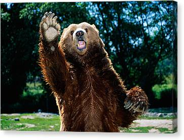 Grizzly Bear On Hind Legs Canvas Print by Panoramic Images