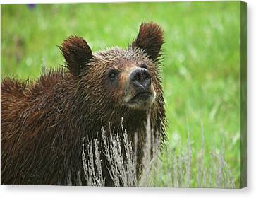 Canvas Print featuring the photograph Grizzly Cub by Steve Stuller