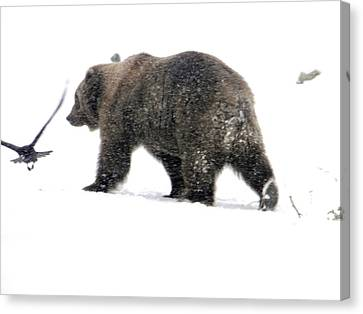 Canvas Print featuring the photograph Grizzly by Meagan  Visser