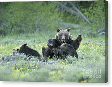 North American Wildlife Canvas Print - Grizzly Romp - Grand Teton by Sandra Bronstein