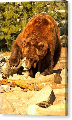 Grizzly Scavenging Canvas Print