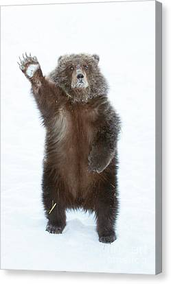 CANVAS Grizzly Bear Waves Paw Art print POSTER