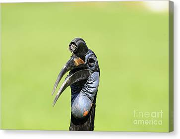 Ground Hornbill Canvas Print by David & Micha Sheldon