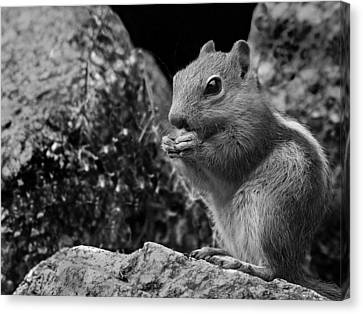 Ground Squirrel  Canvas Print by Christina Lihani