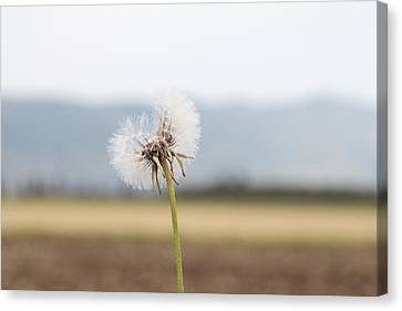 Groundsel In The Wind Canvas Print