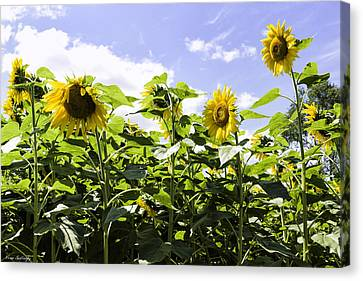 Group Of Sunflowers Canvas Print by Fran Gallogly