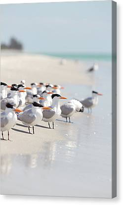 Group Of Terns On Sandy Beach Canvas Print by Angela Auclair