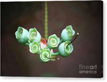Growing Blueberries Canvas Print by Kim Henderson