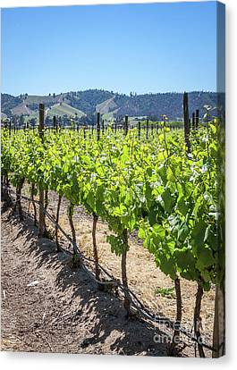 Growing Grapes, Winery In Casablanca Valley, Chile Canvas Print by Anna Soelberg