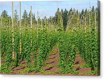 Growing Hops Canvas Print by Linda Larson