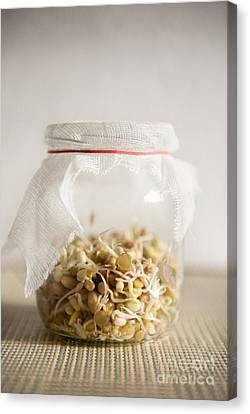 Growing Sprouts Mix In Glass Jar With Bandage  Canvas Print by Arletta Cwalina