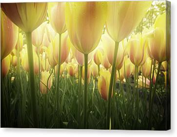 Growing  Tulips  Canvas Print by Anastasy Yarmolovich