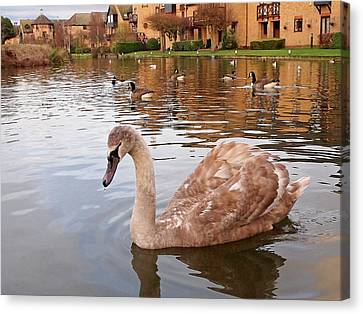 Growing Up On The River - Juvenile Mute Swan Canvas Print by Gill Billington