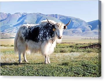 Grunting Ox In Altai Prairie Canvas Print