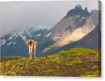 Guanaco - Patagonia Canvas Print