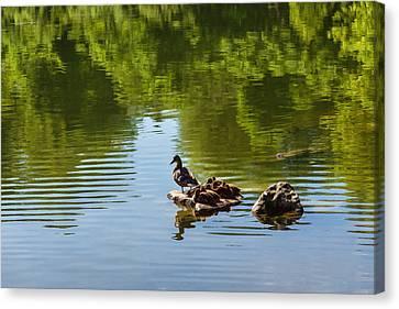 Ducklings Canvas Print - Guarding My Sleeping Family by Georgia Mizuleva