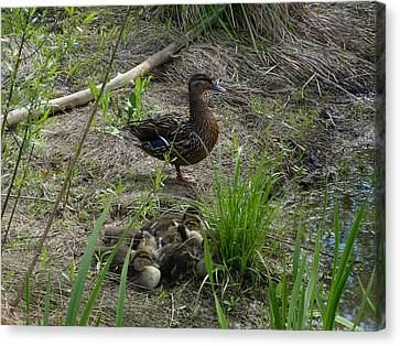 Guarding The Ducklings Canvas Print by Donald C Morgan