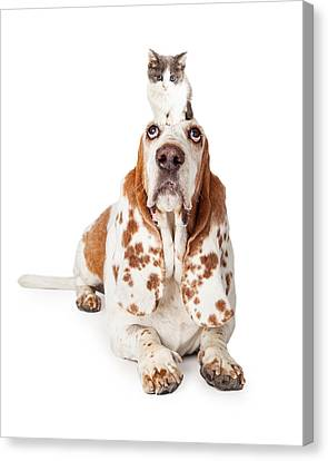 Guilty Looking Basset Hound Dog Laying   Canvas Print
