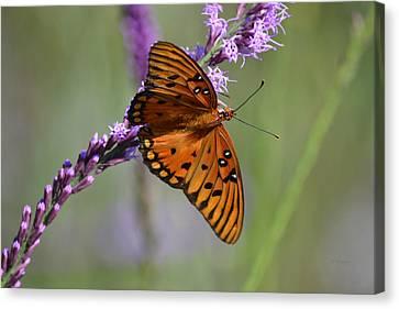 Gulf Fritillary Butterfly On Liatris Canvas Print
