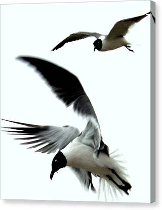 Canvas Print featuring the photograph Gulf Gulls by Antonia Citrino