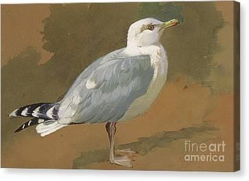 Gull Canvas Print by Archibald Thorburn