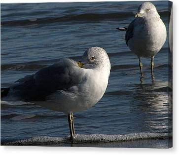 Gull At Rest Canvas Print by Charles Shedd