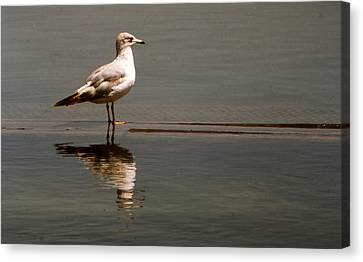 Gull Canvas Print by Bob Whitt