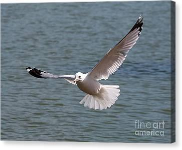 Gull In Flight Canvas Print