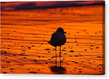 Gull Caught At Sunrise Canvas Print by Allan Levin