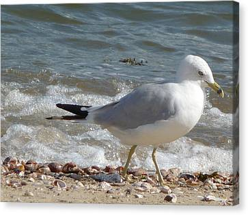 Canvas Print featuring the photograph Gull Strolling The Shore by Margie Avellino