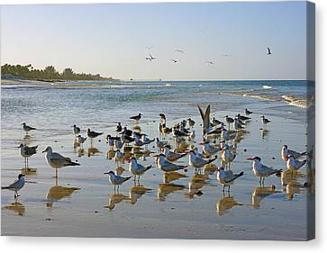 Gulls And Terns On The Sanbar At Lowdermilk Park Beach Canvas Print