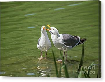 Gulls Courting Canvas Print by Kate Brown