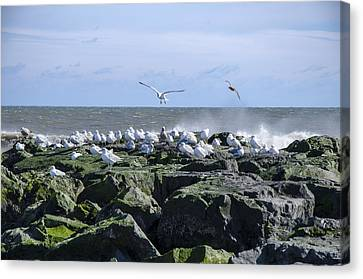 Gulls On Rock Jetty Canvas Print
