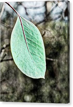 Gum Leaf - Australia  Canvas Print