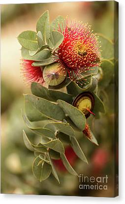 Gum Nuts Canvas Print by Werner Padarin