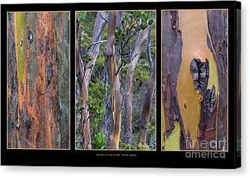 Gum Trees At Lake St Clair Canvas Print by Werner Padarin