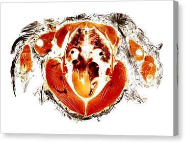 Gyr Falcon Anatomy Cross Section  Canvas Print