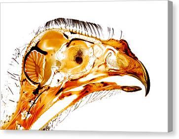 Gyr Falcon Anatomy Falconry Plastinate Canvas Print