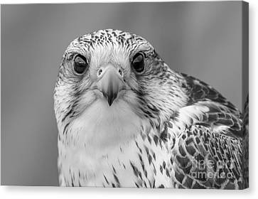 Gyr Falcon Portrait In Black And White Canvas Print