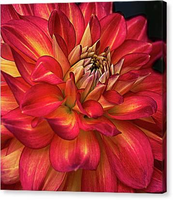 Half Pint Red Dahlia Canvas Print by Julie Palencia
