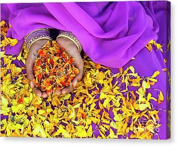 Hands Holding Marigold Petals Canvas Print